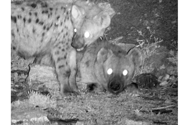 Hyena scavenging provides public health and economic benefits to African cities