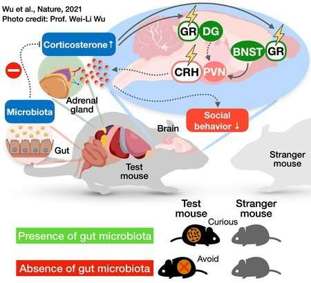 Identifying the neural link between gut bacteria and social behavior in mice