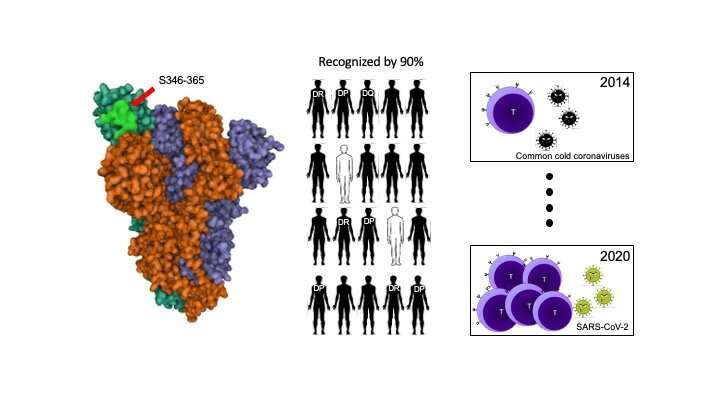 Immunologists decipher the recognition of SARS-CoV-2 by CD4+ T lymphocytes in COVID-19 recovered patients
