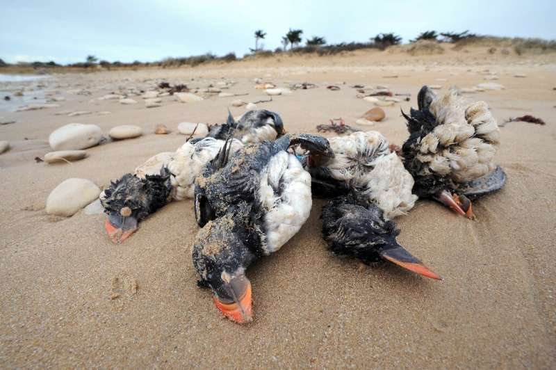 In 2014 tens of thousands of sea birds washed up dead on the shores of French island Ile-de-Re