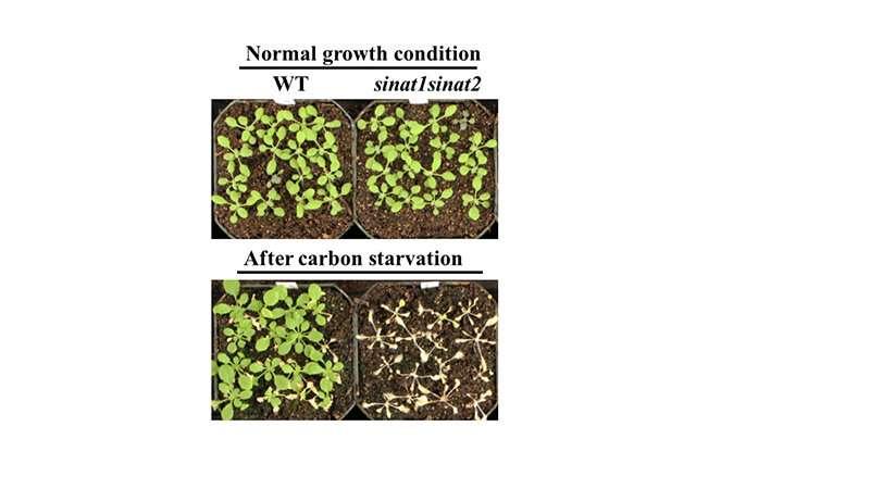 En la respuesta al estrés de las plantas, una proteína atrae, se une a su propio asesino