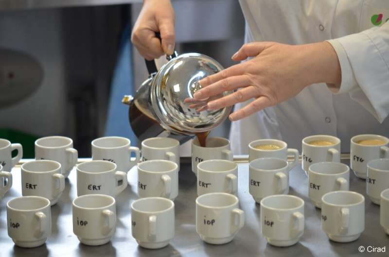 In a taste test a panel of professionals judged the stenophylla to be of the same quality as Arabica