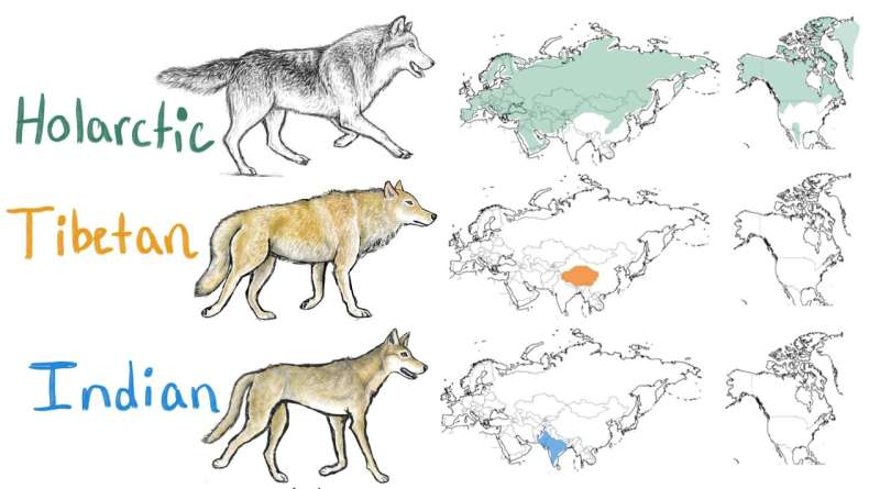 Indian wolf among world's most endangered and distinct wolves