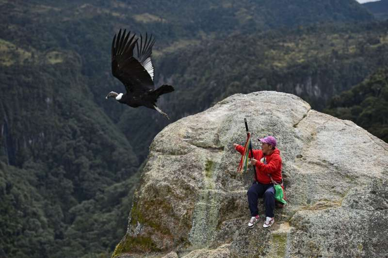 Indigenous people in Colombia's Purace national park are helping biologists conduct a census of condors, which are critically en