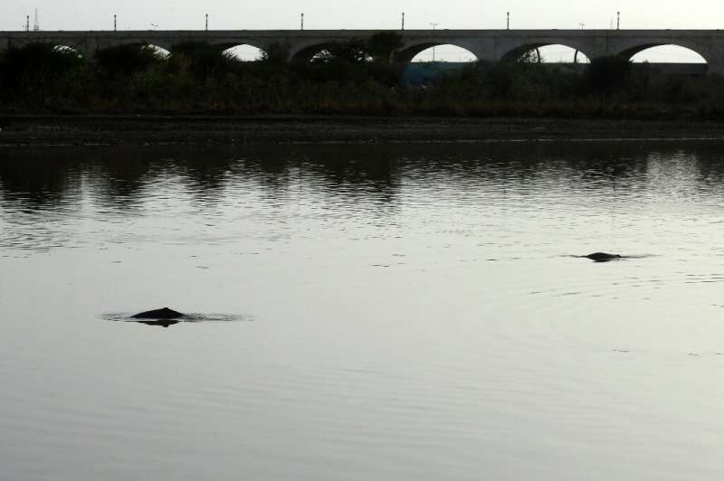 Indus River dolphins once swam from the Himalayas to the Arabian sea