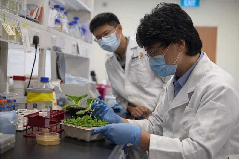 Infection method behind 'crop killer' bacteria revealed