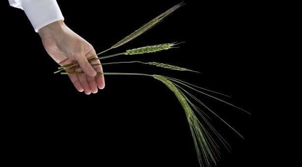 Innovative gene stacks enhance wheat rust resistance