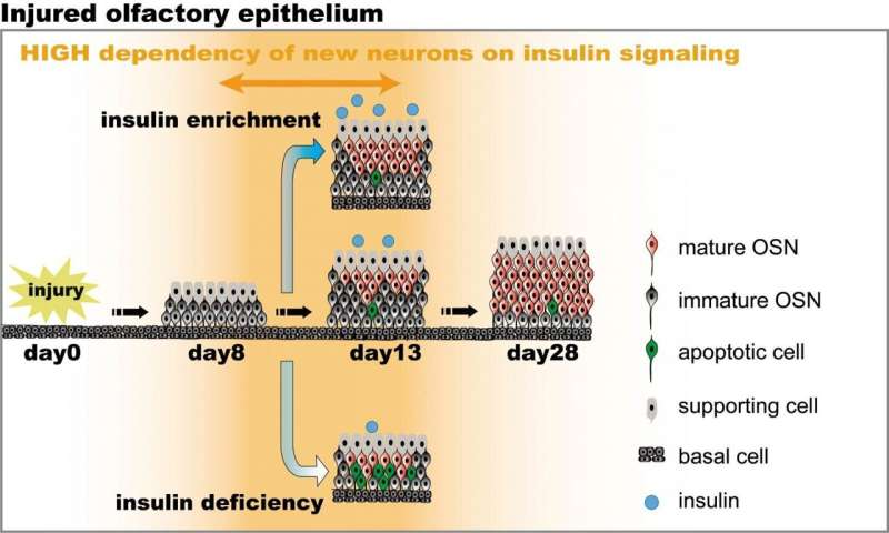 Insulin is necessary for repairing olfactory neurons
