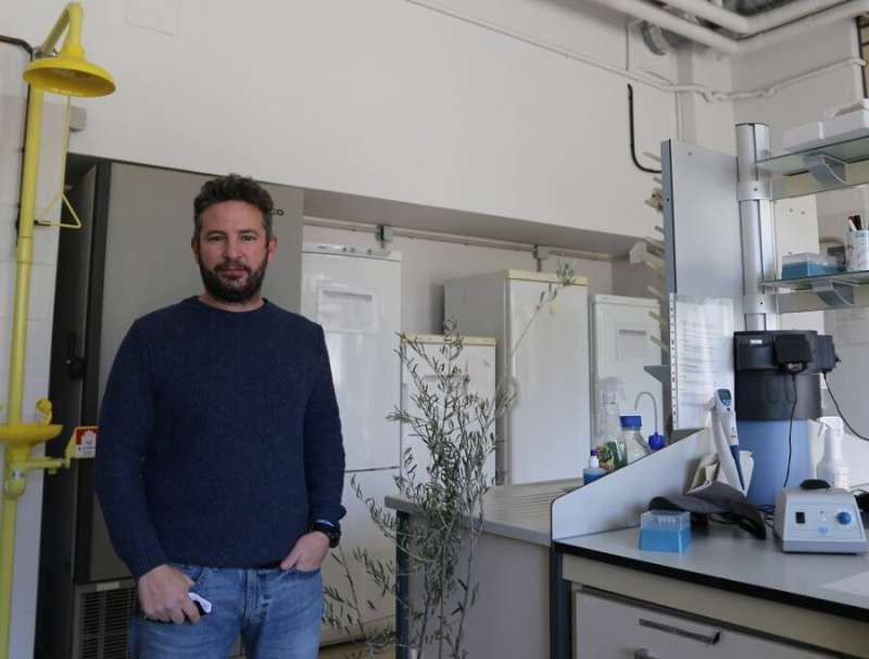 Integrated disease management saves olive trees from Verticillium wilt