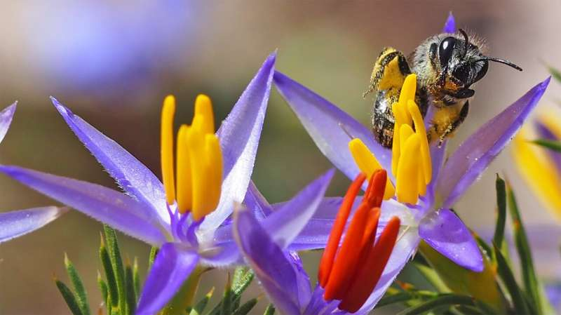 Introduced honeybee may pose threat to native bees