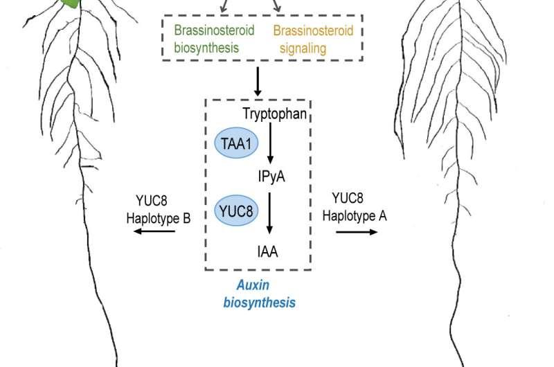 IPK researchers discover hormonal regulatory module for root elongation