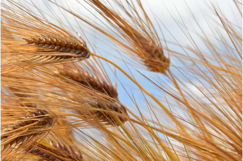 IPK scientists identify networks for spikelet formation in barley