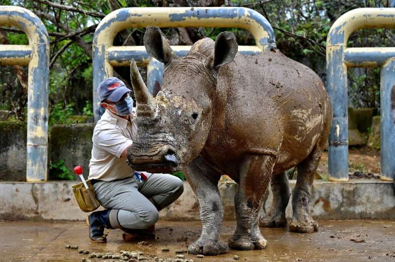 It is the first time Taiwan will send a southern white rhino overseas to breed