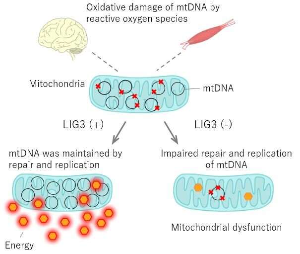 Japanese-European research team discovers novel genetic mitochondrial disorder