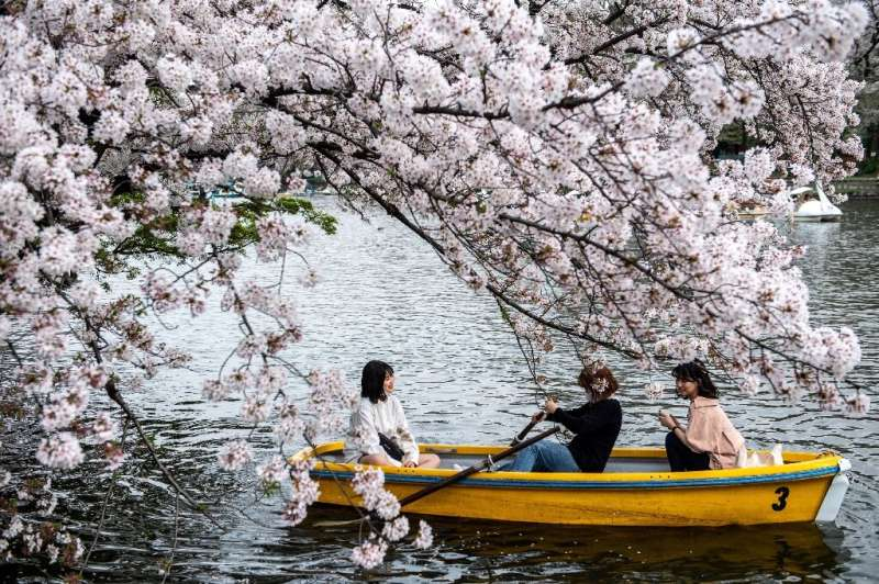 Japan's sakura or cherry blossom season is feverishly anticipated by locals and visitors alike