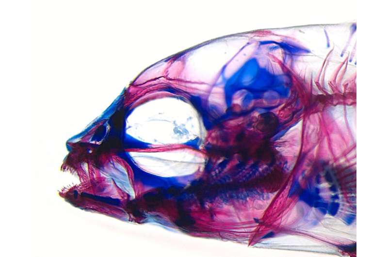 Jaws; or, how an African ray-finned fish is helping to rethink the fundamentals of evolution