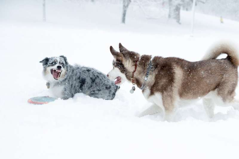 Just a show for humans? Two dogs frolic in the snow in near white-out conditions in Boston, Massachusetts