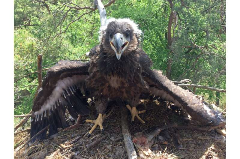 Juvenile white-tailed sea eagles stay longer in their parental territory than nest protection periods