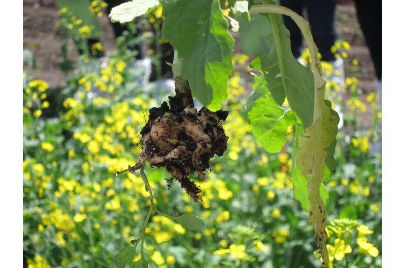 Mantener el clubroot en la colza bajo control mediante el uso de hongos