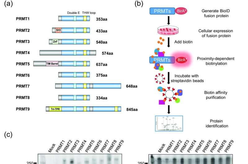 Key roles of arginine methylation in global control of RNA splicing and translation