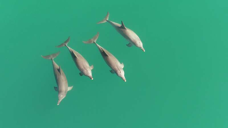 Know your ally: Cooperative male dolphins can tell who's on their team