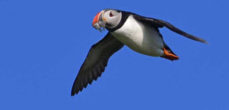 Lack of prey is causing puffin chicks to starve, leading to population declines