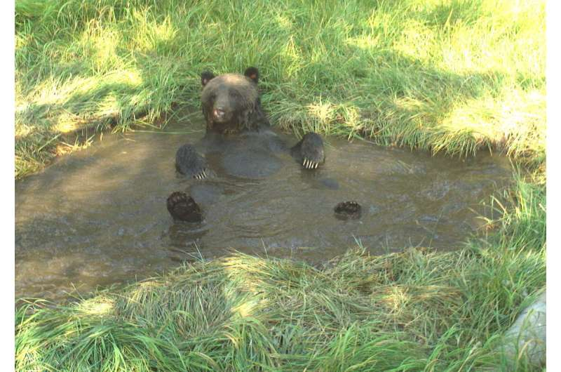 Lactating grizzly bears use cooling baths to avoid heat stress, study finds