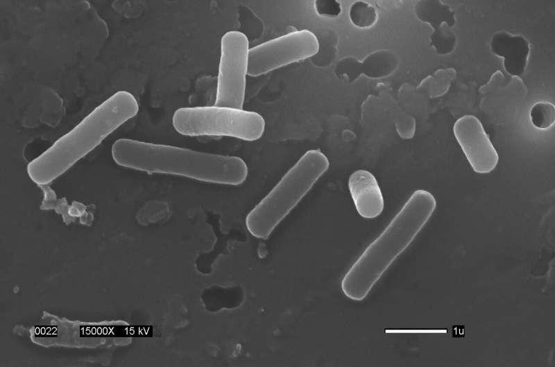 Lactobacillus manipulates bile acids to create favorable gut environment