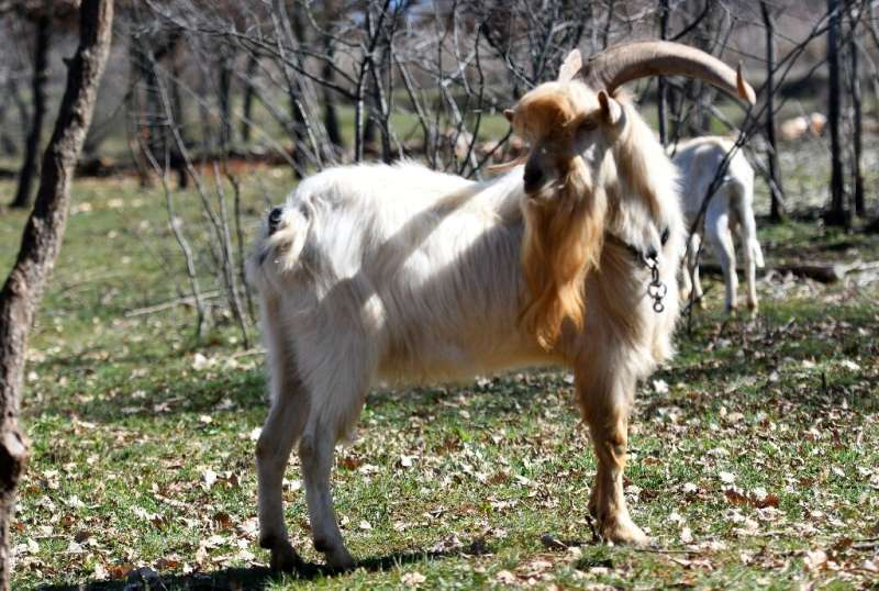 Laws in the 19th and 20th centuries practically banned keeping Istrian goats, which were considered forest-destroying pests