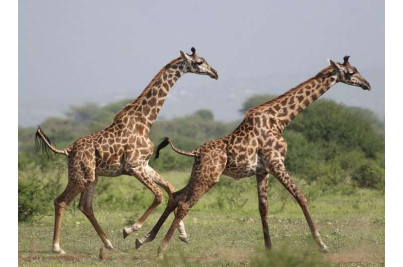 Leaving by Staying: Dispersal Decisions of Young Giraffes