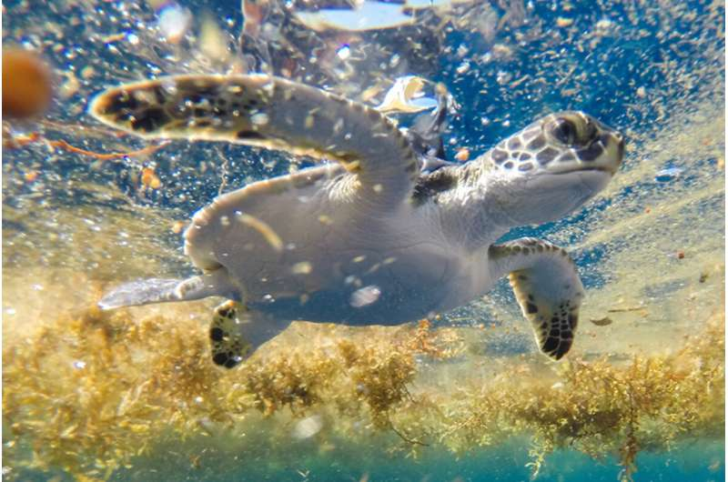 Legendary Sargasso sea may be sea turtles' destination during mysterious 'lost years'
