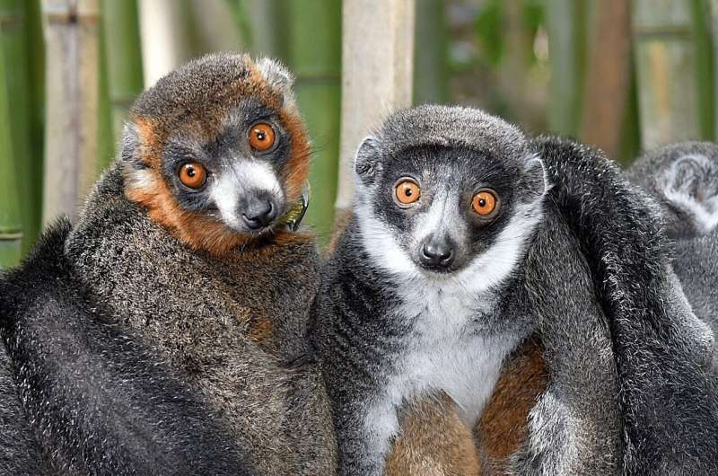 Lemurs show there's no single formula for lasting love
