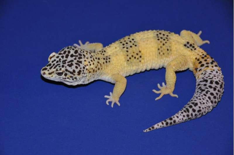 Leopard gecko skin tumors traced to cancer gene