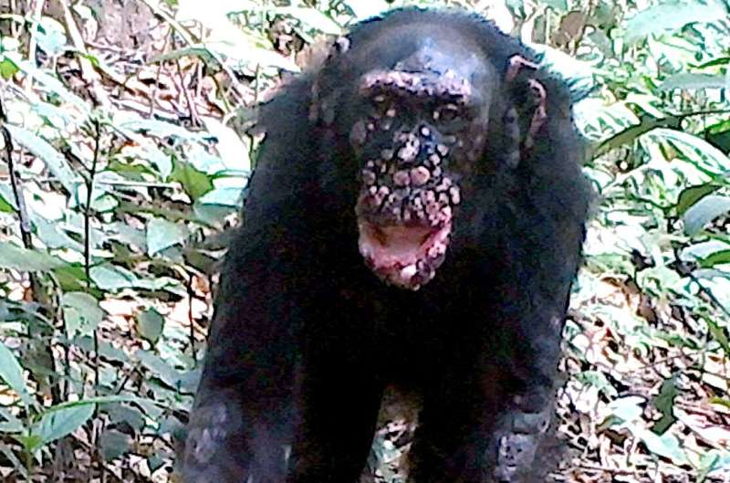 Leprosy confirmed in wild chimpanzees