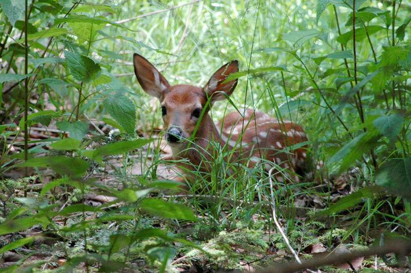 Levels of stress hormone in saliva of newborn deer fawns may predict mortality