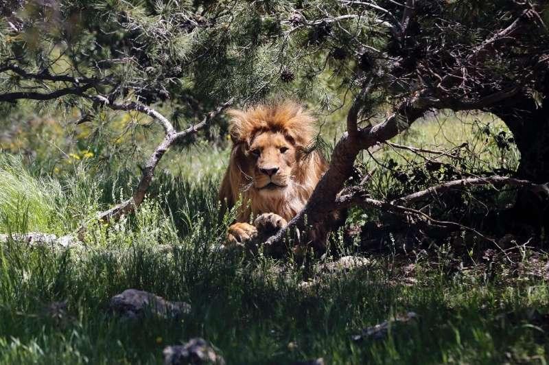 Los leones han perdido más del 90 por ciento de su área de distribución histórica y su población.