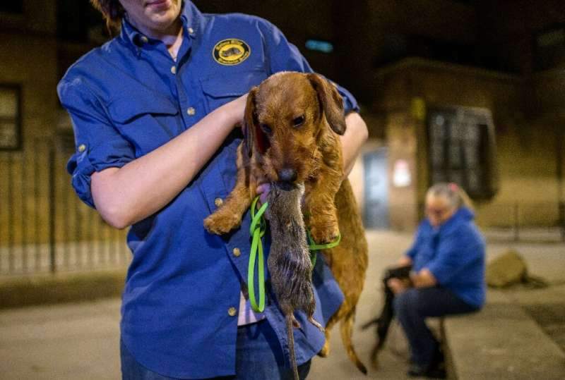 Lita the wirehaired dachshund holds a dead rat in its mouth after hunting it in a neighborhood in lower Manhattan on May 14, 202