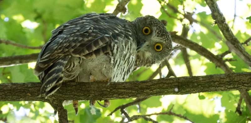 Look up! A powerful owl could be sleeping in your backyard after a night surveying kilometres of territory