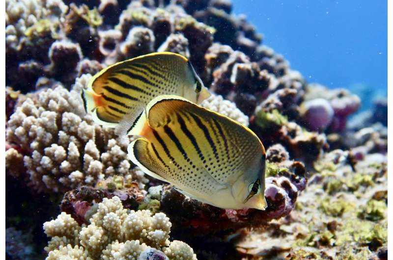 Loss of picky-eating fish threatens coral reef food webs