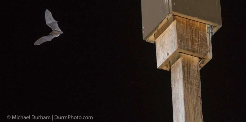 Love bats? Think twice about that bat box, experts say