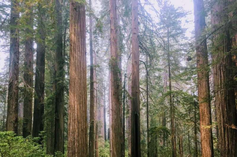 Low-level thinning can help restore redwood forests without affecting stream temperatures