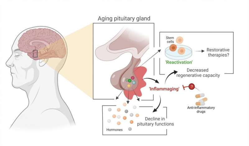 Main gland in hormonal system ages due to process that can potentially be slowed down
