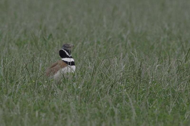 Management measures improve the conservation of the steppe bird in Lleida