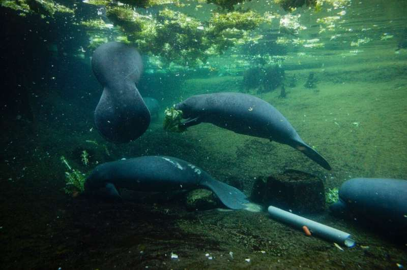 Manatees recover in intensive care tanks in Florida animal hospitals like the one at ZooTampa