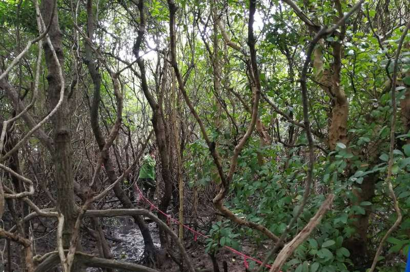 Mangrove forests store more carbon when they're more diverse