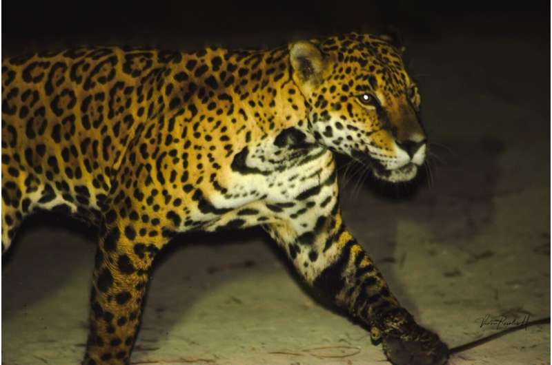 Man's best friend could be a jaguar's next meal: A case study from the Mexican Caribbean