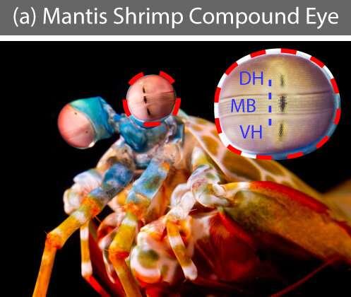 Mantis shrimp eyes inspire six-color imaging platform for cancer surgery