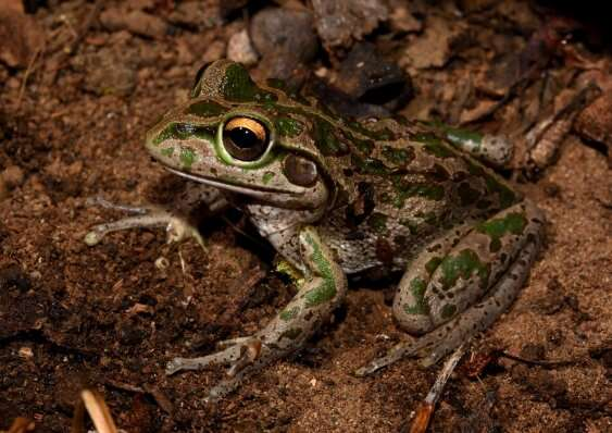 Many Australian frogs don't tolerate human impacts on the environment