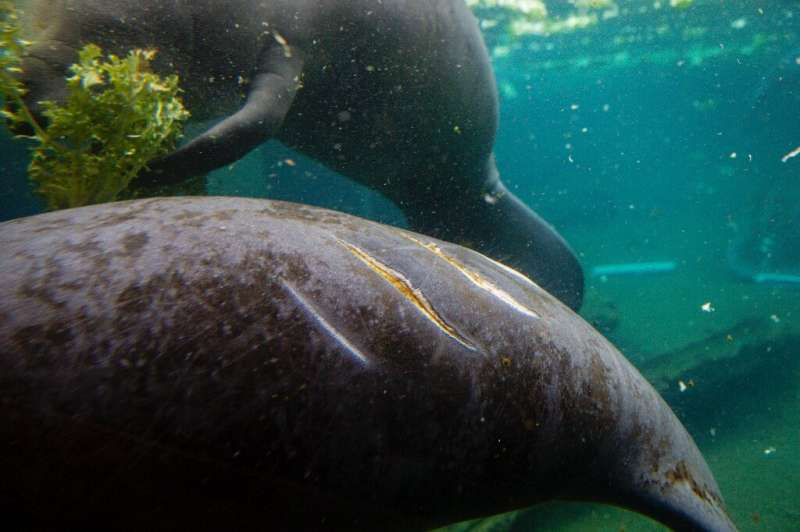 Many manatees have scars from collisions with boats, which often happen when the mammals come to the surface to breathe