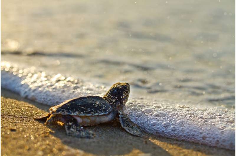 Mediterranean turtles recovering at different rates